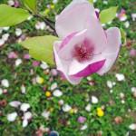 Zuzana Pavlovičová / magnoliáá